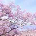 🌸花立公園桜まつり開催🌸