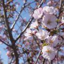 花立公園桜まつり開催!!